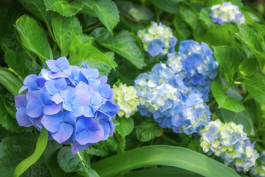 Australia Photograph - Blue And Yellow Hortensia Flowers by Daniela Constantinescu