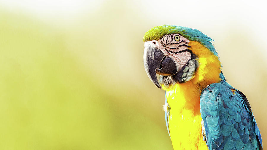 Bird Photograph - Blue And Yellow Macaw With Copy Space by Susan Schmitz