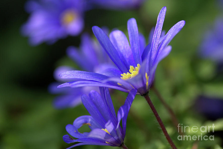 Anemone Photograph - Blue Anemone  by Sharon Talson