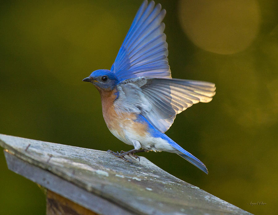 Bluebird Photograph - Blue Angel Boy by Angel Cher