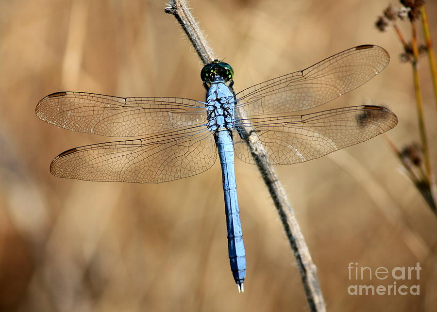 Dragonfly Photograph - Blue Beauty by Carol Groenen