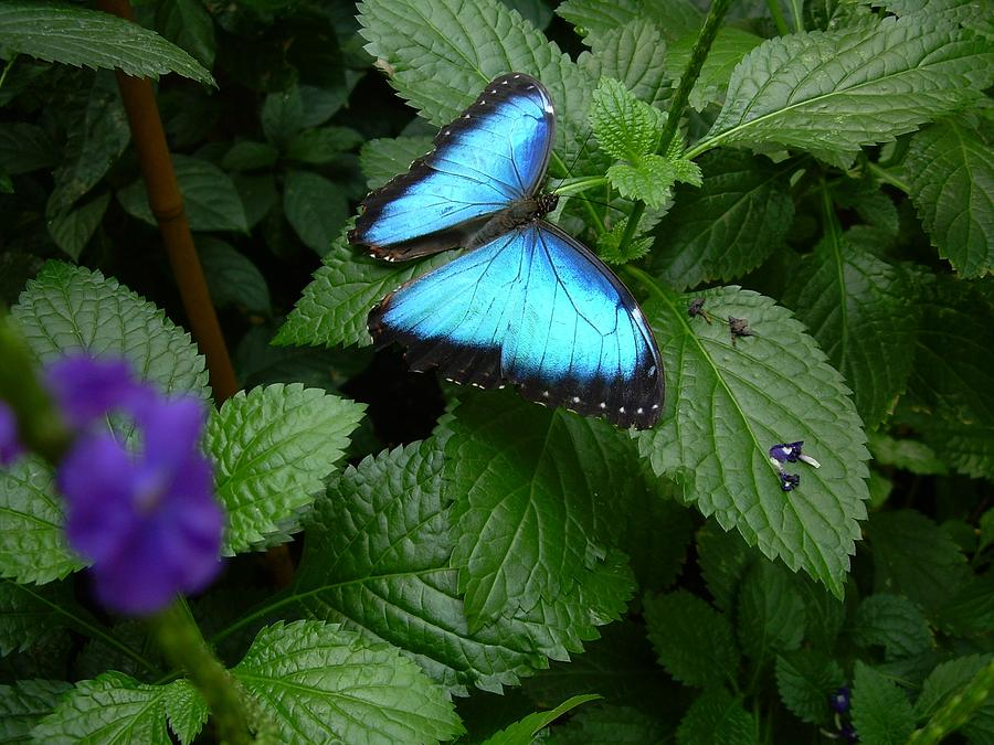 Butterfly Photograph - Blue Beauty by Sandra Poirier