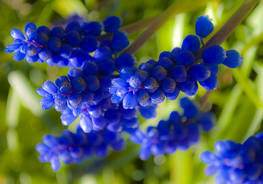 Flower Photograph - Blue Bell by Svetlana Sewell