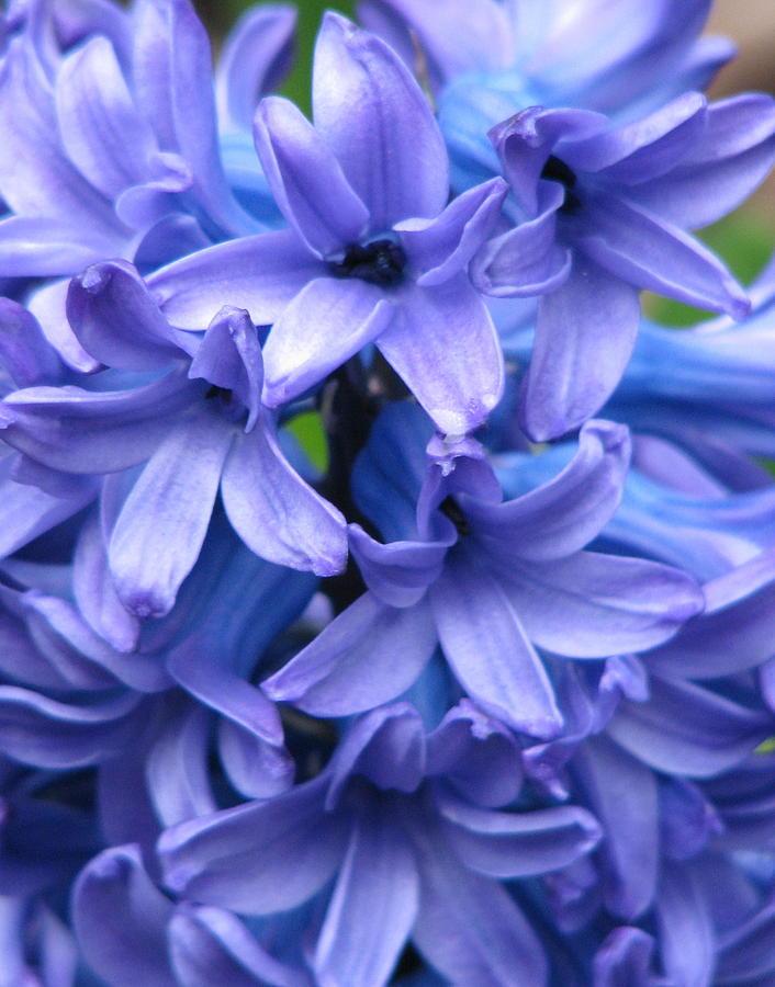 Flower Photograph - Blue Belles by Staci-Jill Burnley
