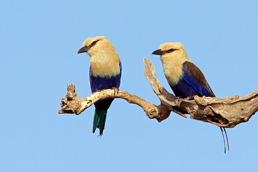 Blue-bellied Rollers On Branch Photograph