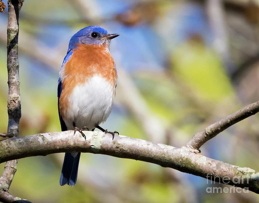 Canon Photograph - Blue Bird by Ricky L Jones