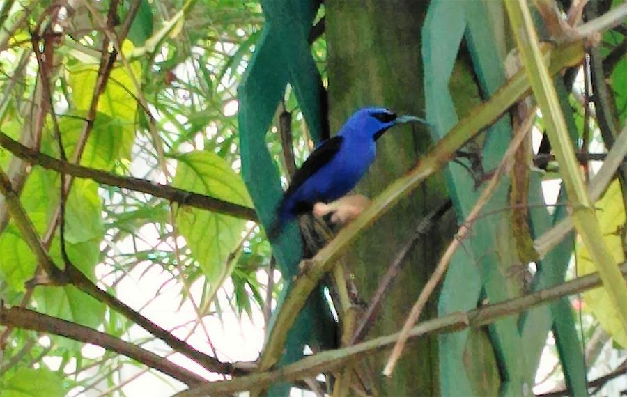 Blue Photograph - Blue Bird with a Curved Bill by Andrew Blitman