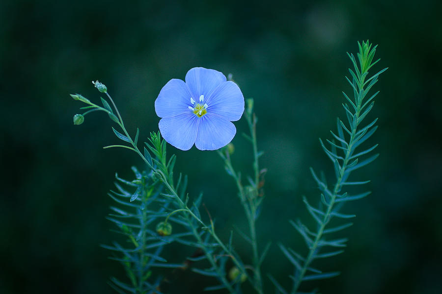 2015 Photograph - Blue Bloom by Nathaniel Kidd