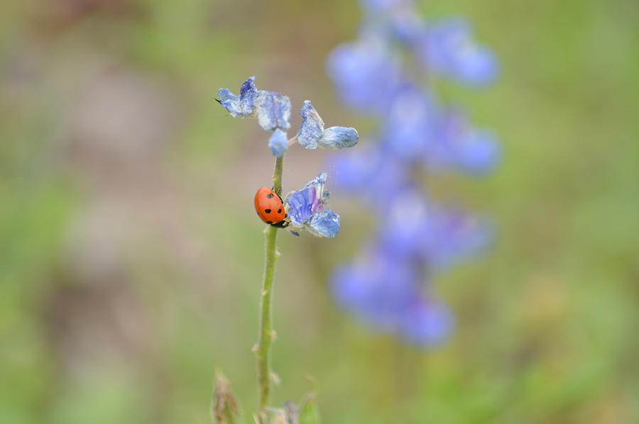 Blue Bonnets And A Lady Bug Photograph