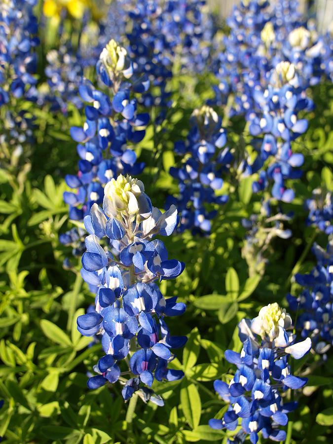 Floral Photograph - Blue Bonnets by James Granberry