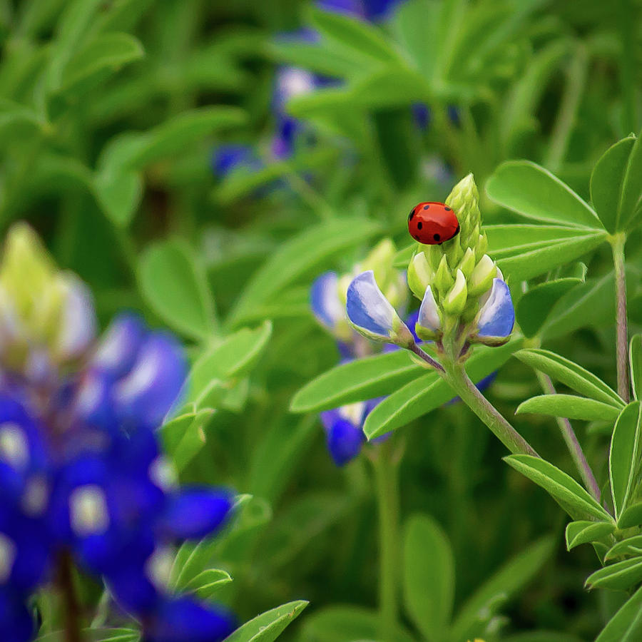Texas Blue Bonnet and Ladybug by Brad Thornton