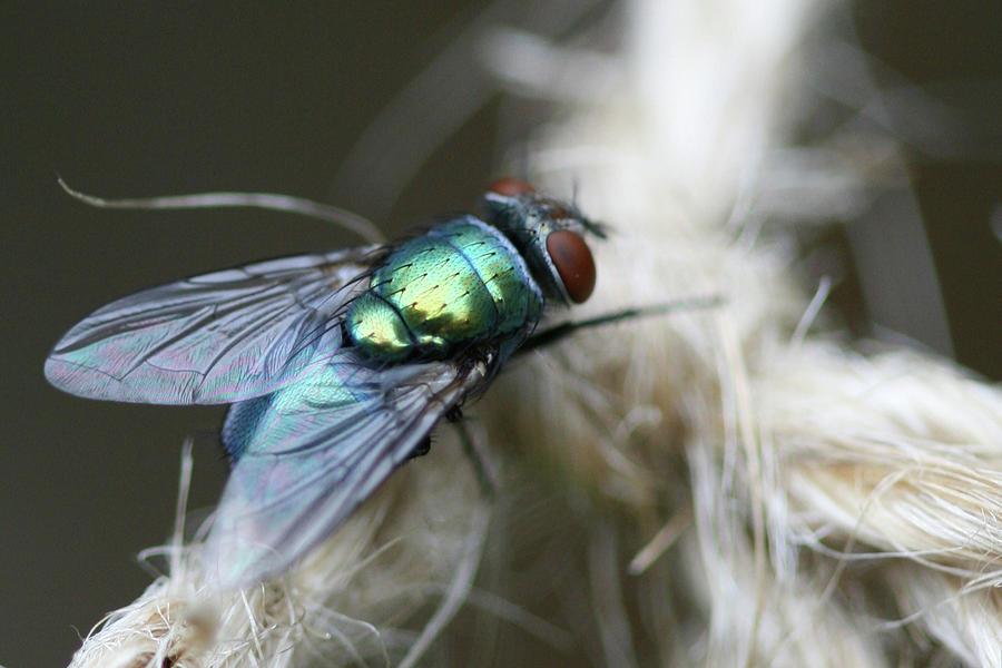 Blue Bottle Fly Photograph - Blue Bottle Fly on Garden Twine by Bonnie Boden