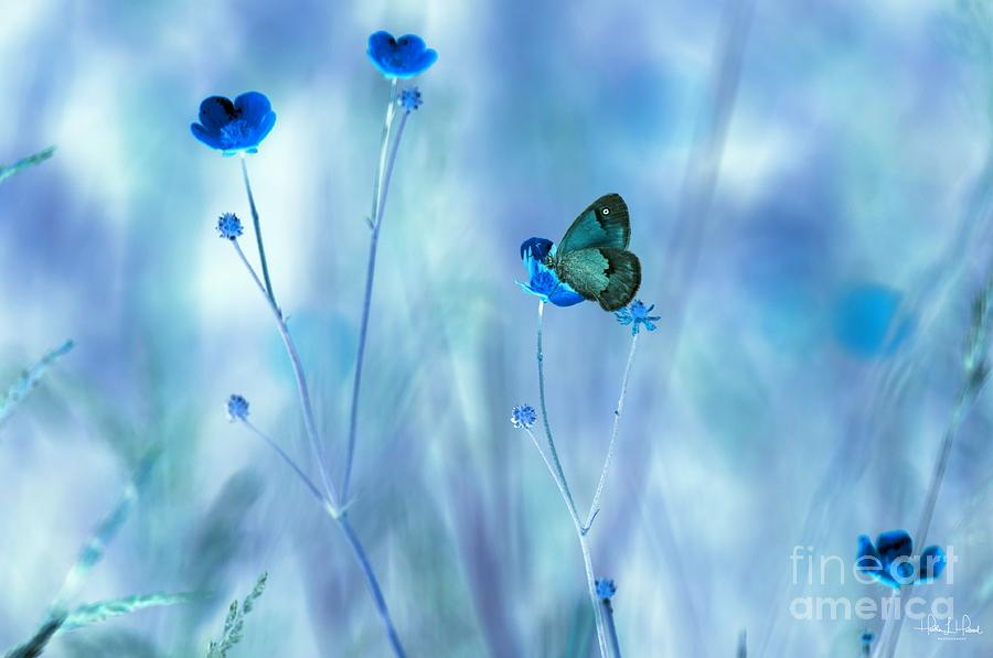 Flowers Photograph - Blue Buttercups by Heather Hubbard