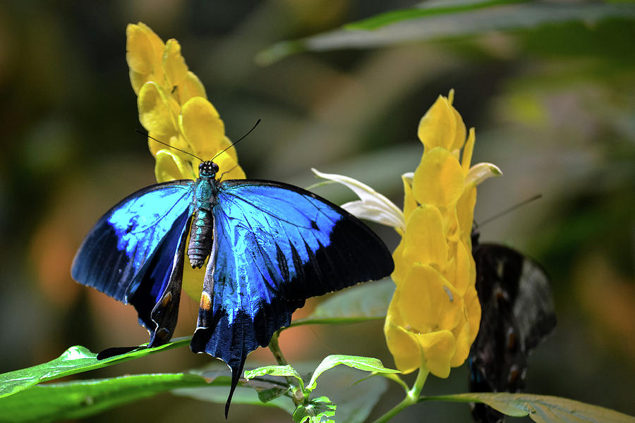 Blue Beauty Butterfly by Brad Thornton