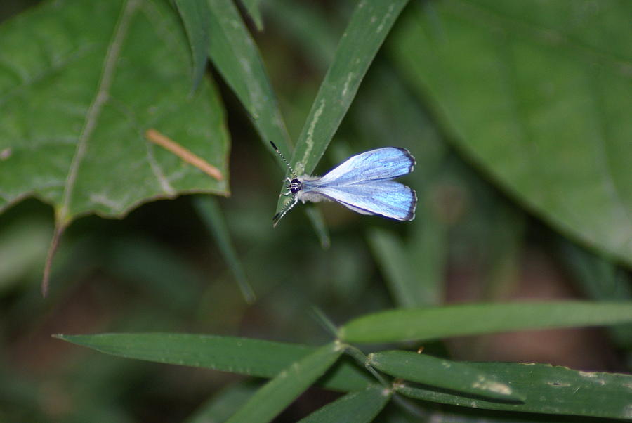 Nature Photograph - Blue Butterfly by Heather Green