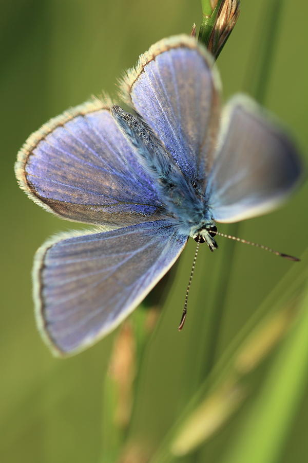 Blue Butterfly by Ian Sanders