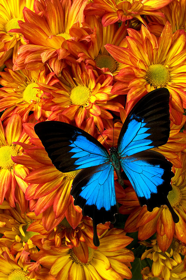 Butterfly Photograph - Blue Butterfly On Mums by Garry Gay
