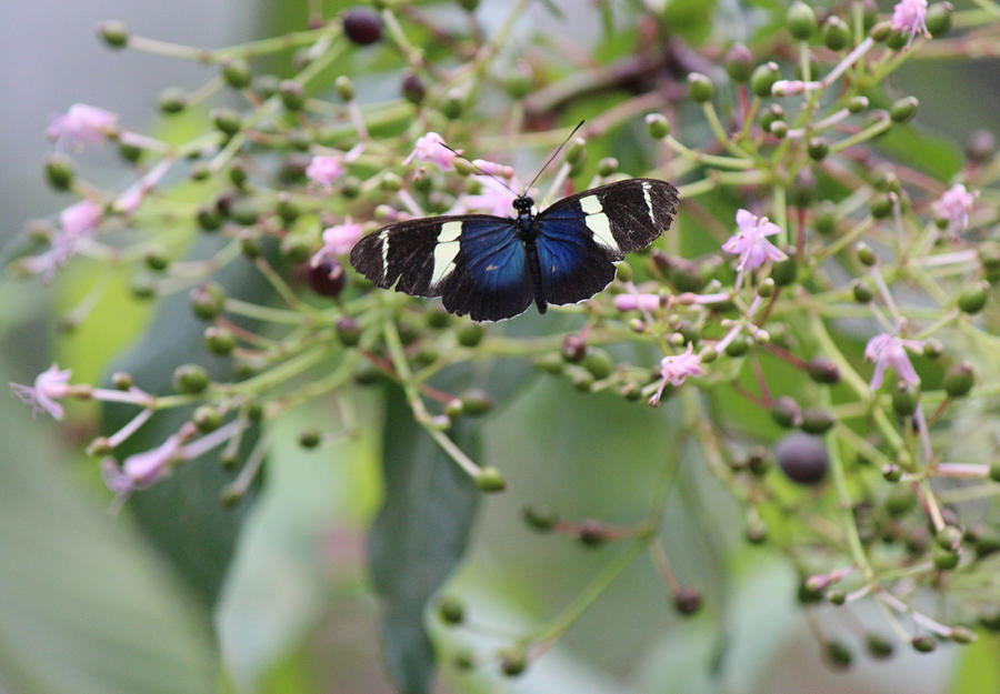 Blue Butterfly On Pink Flowers Photograph by Lorraine Baum