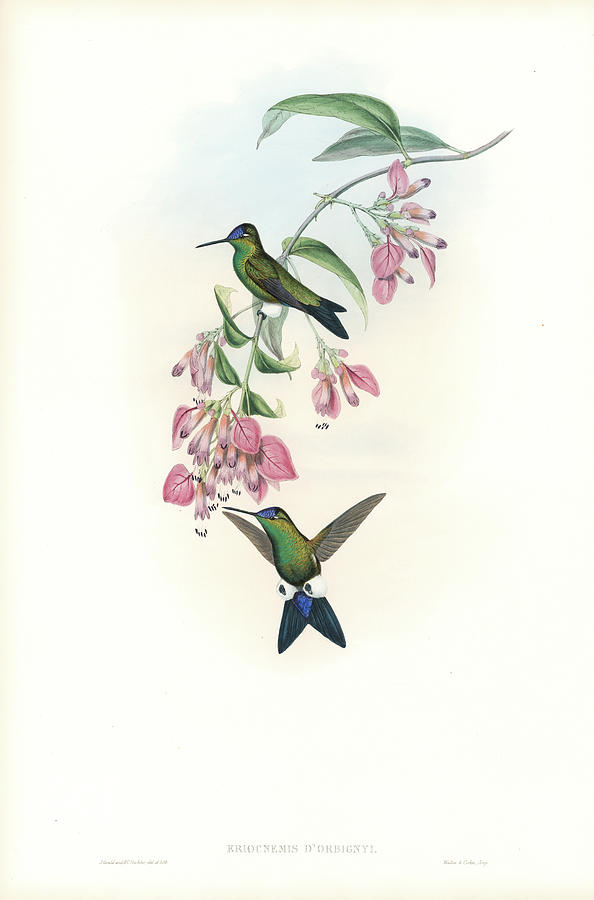 Blue-capped Puffleg Hummingbird Eriocnemis glaucopoides by John and Elizabeth Gould