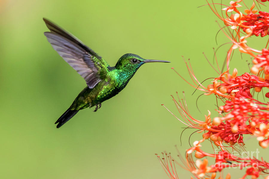 Hummingbirds Photograph - Blue chinned sapphire by Rachel Lee Young
