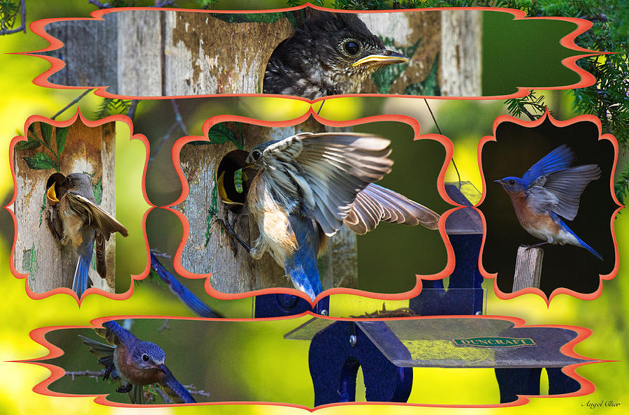 Bluebird Photograph - Blue Collage 2 by Angel Cher