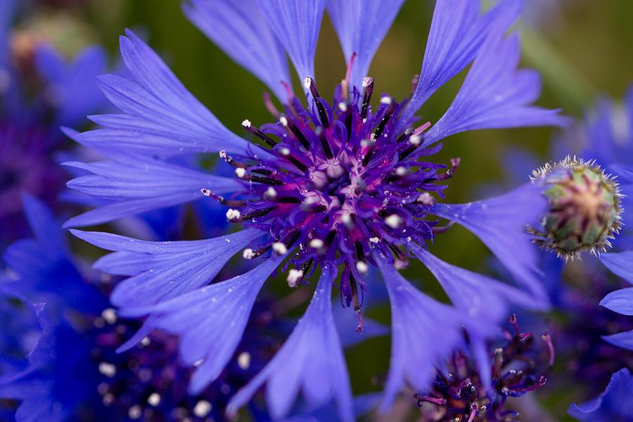 Flower Photograph - Blue Cornflower by Peteris Vaivars