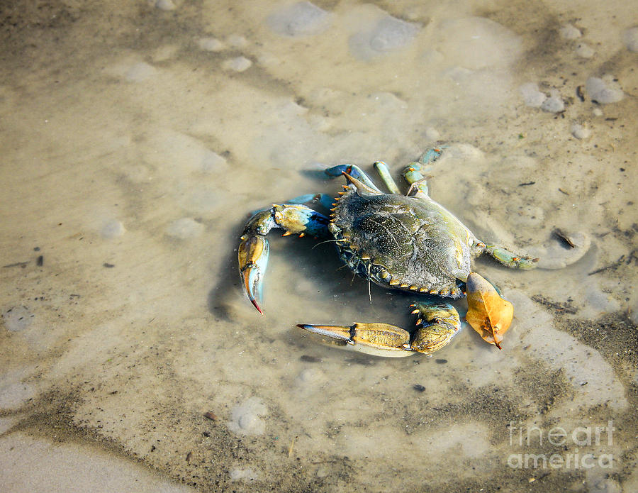 Crab Photograph - Blue Crab by Sandy Adams