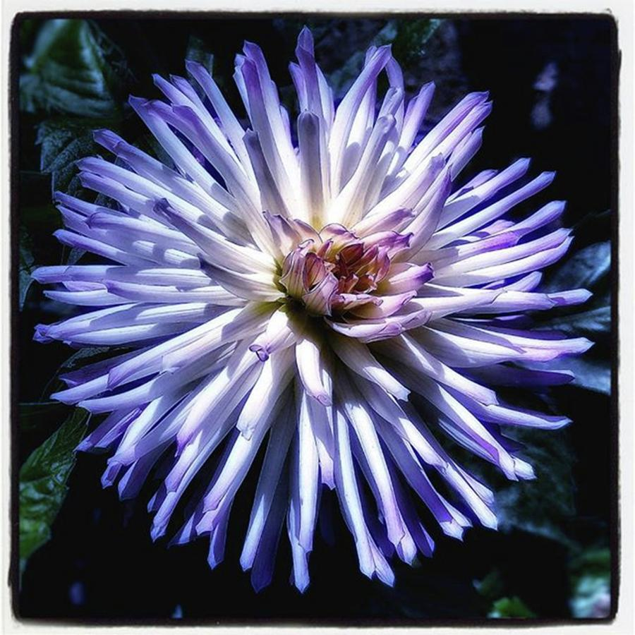 Blue Dahlia. Like A Winking  Star In Photograph by Mr Photojimsf