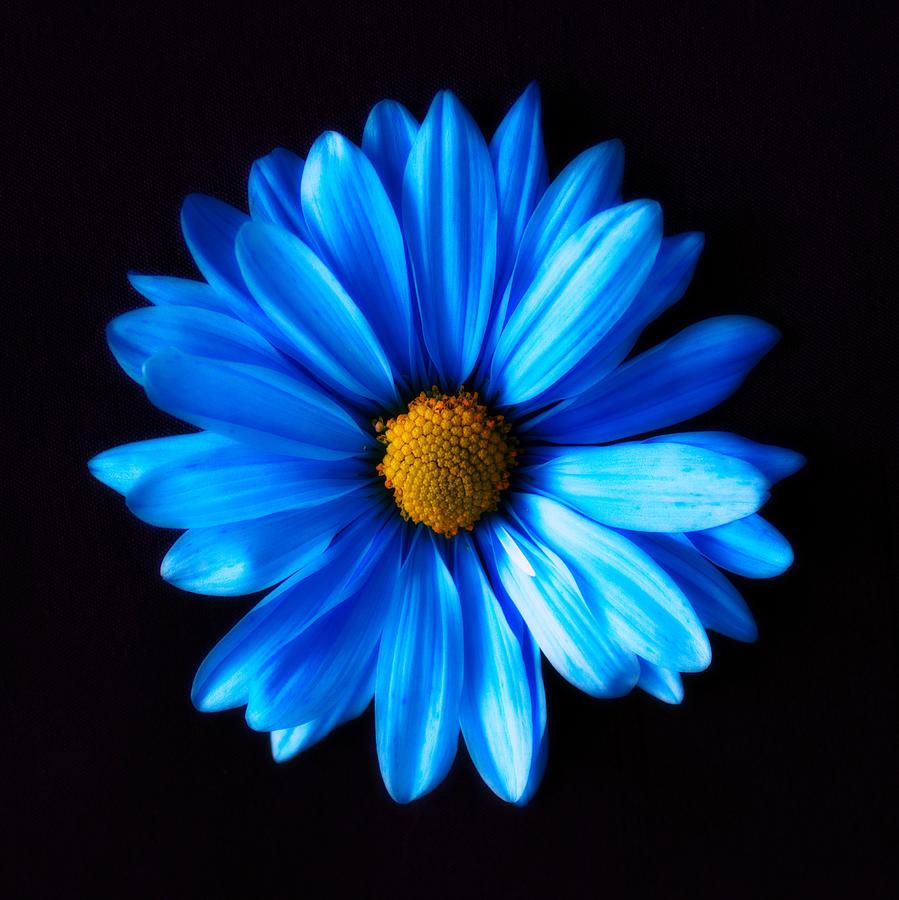 Blue Daisy Photograph by Shannon Gan Dathu