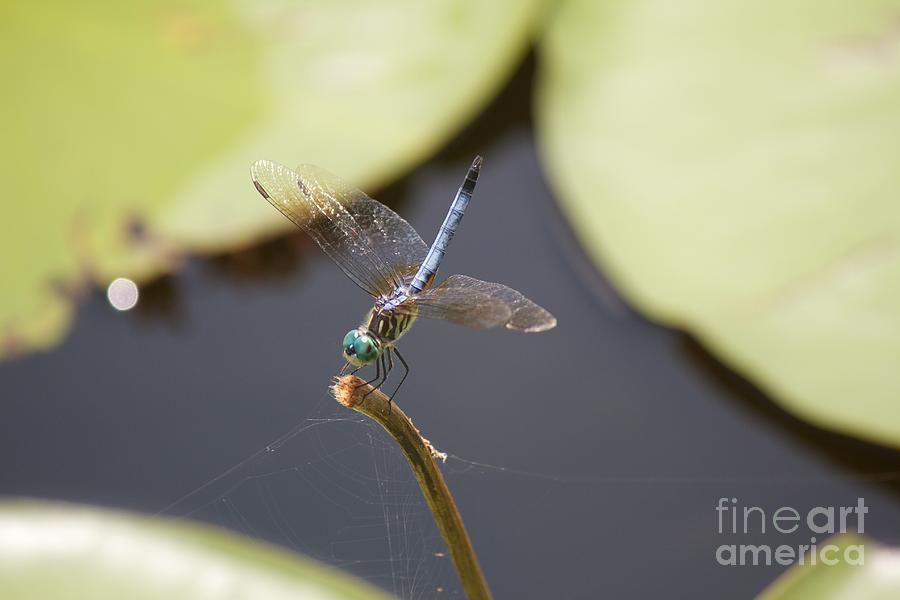 Blue Photograph - Blue Dasher Dragonfly by David Grant