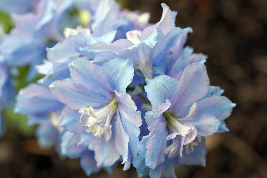 Flowers Photograph - Blue Delphinium by Mary Haber