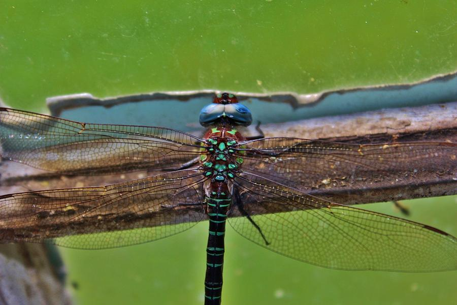 Dragonfly Photograph - Blue Dragon by Raquel Rogers