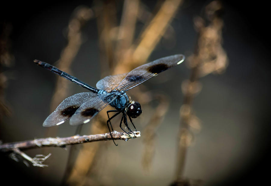 Blue Dragonfly by GK Hebert Photography