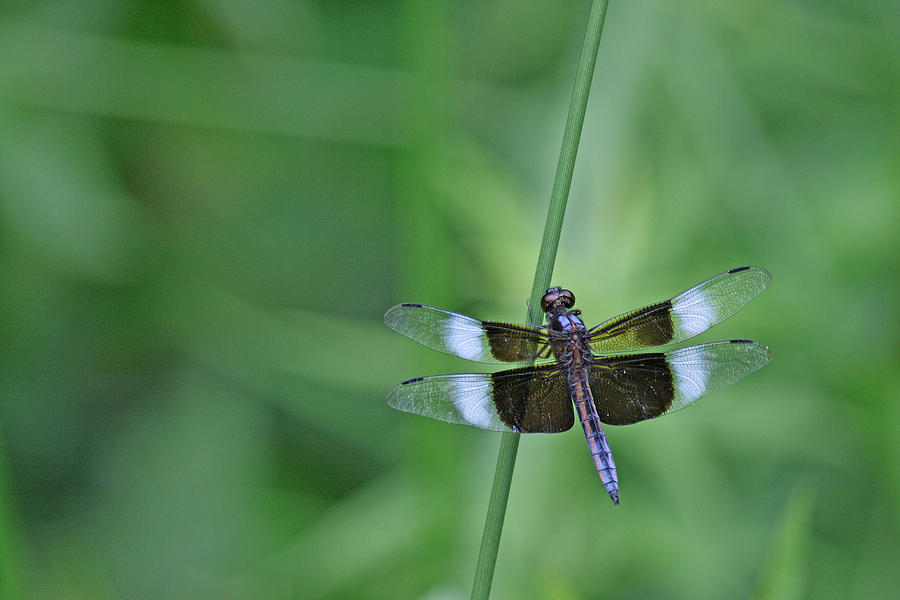 Color Photograph - Blue Dragonfly by Tina B Hamilton