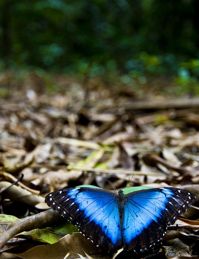 Butterfly Photograph - Blue Emperor by Sarita Rampersad