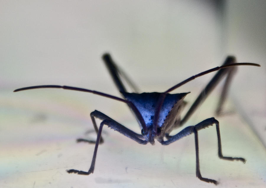 Hemiptera Photograph - Blue-eyed Monster by Douglas Barnett