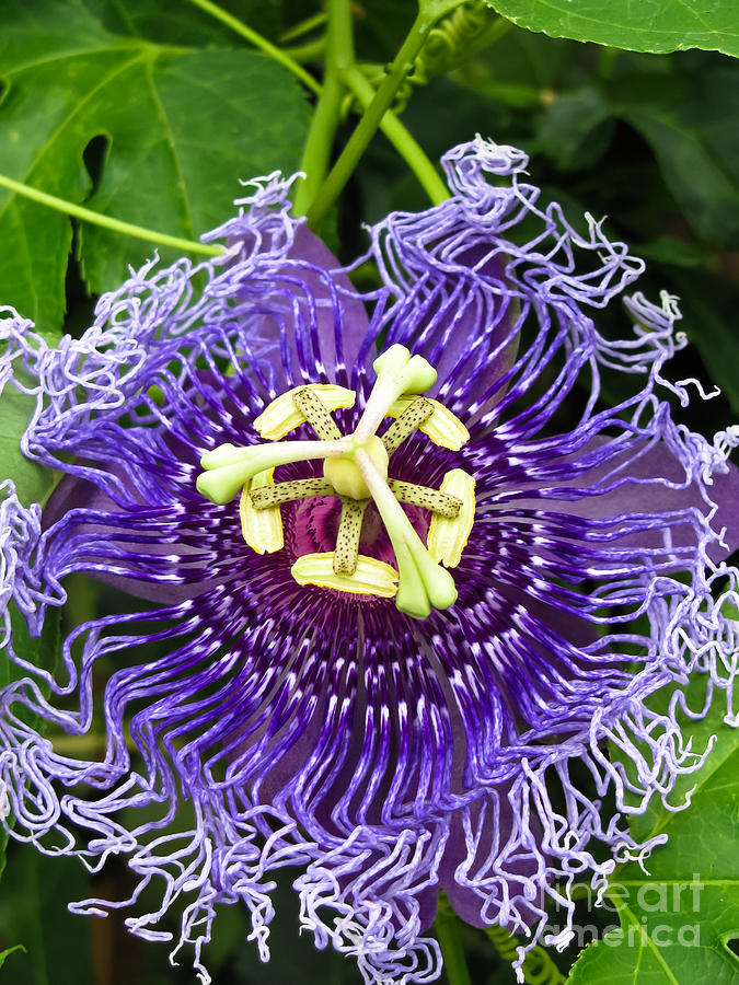 Passion Flower Photograph - Blue Eyed Suzy by Colleen Kammerer