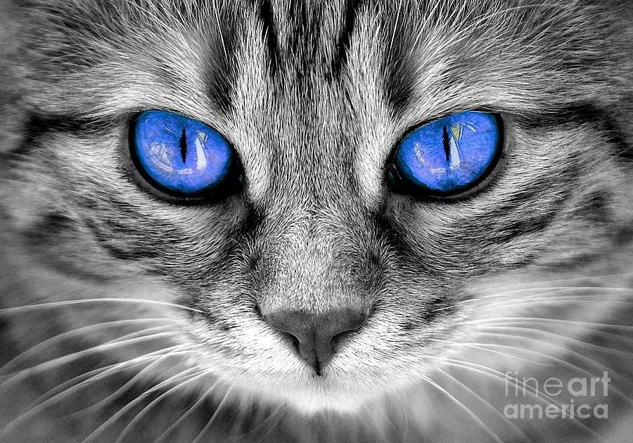 Blue Eyes Gray Cat