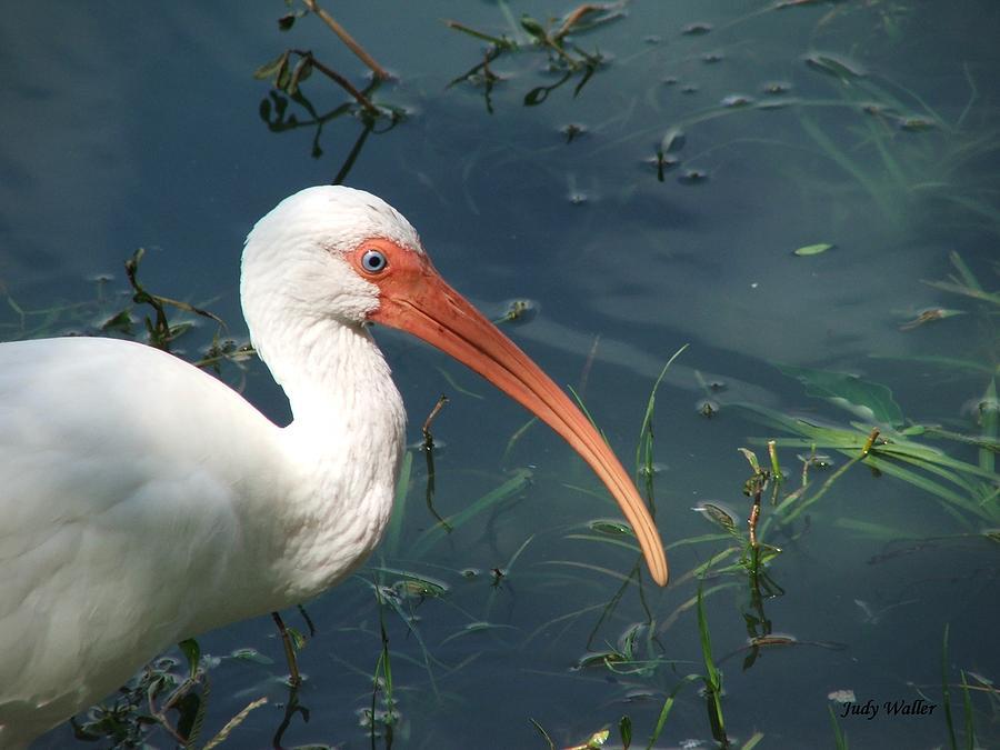 Ibis Photograph - Blue Eyes by Judy  Waller