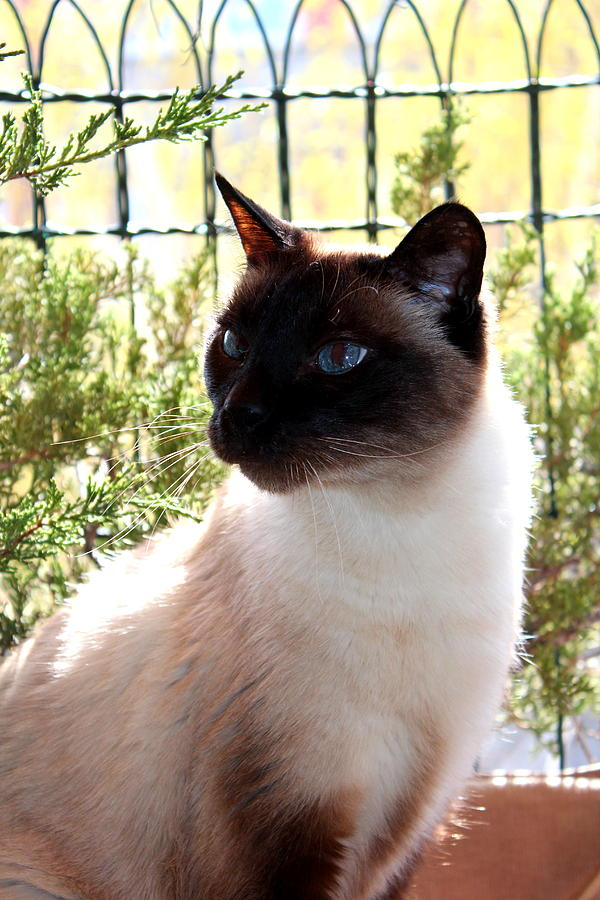 Cats Photograph - Blue Eyes by Sonja Bonitto