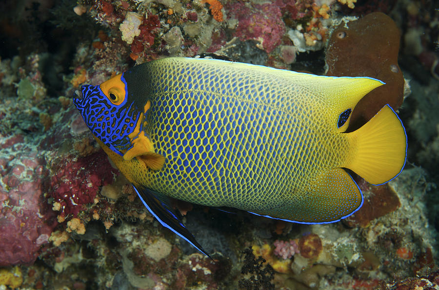 Angel Photograph - Blue Face Angelfish by Steve Rosenberg - Printscapes
