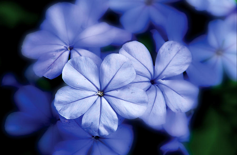 Nature Photography Photograph - Blue Flowers by Craig Incardone