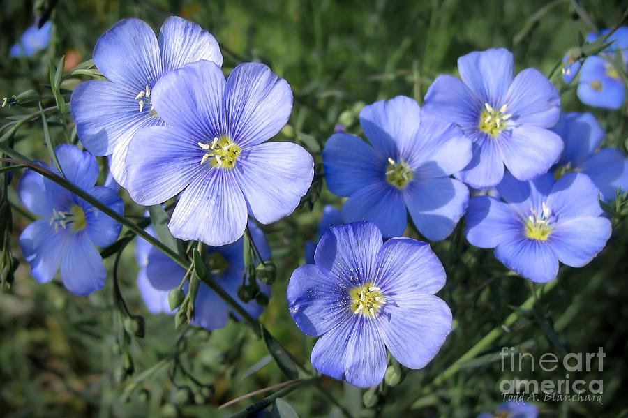 Flowers Photograph - Blue Flowers In The Sun by Todd Blanchard