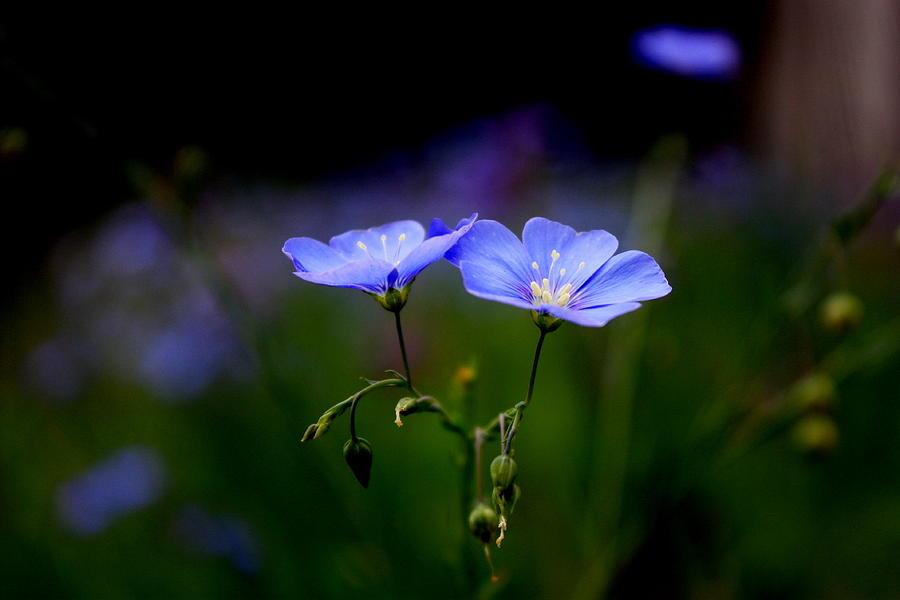 Flowers Photograph - Blue Flowers by Joseph Peterson