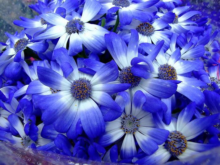 Flowers Photograph - Blue Flowers by Simona Stroescu