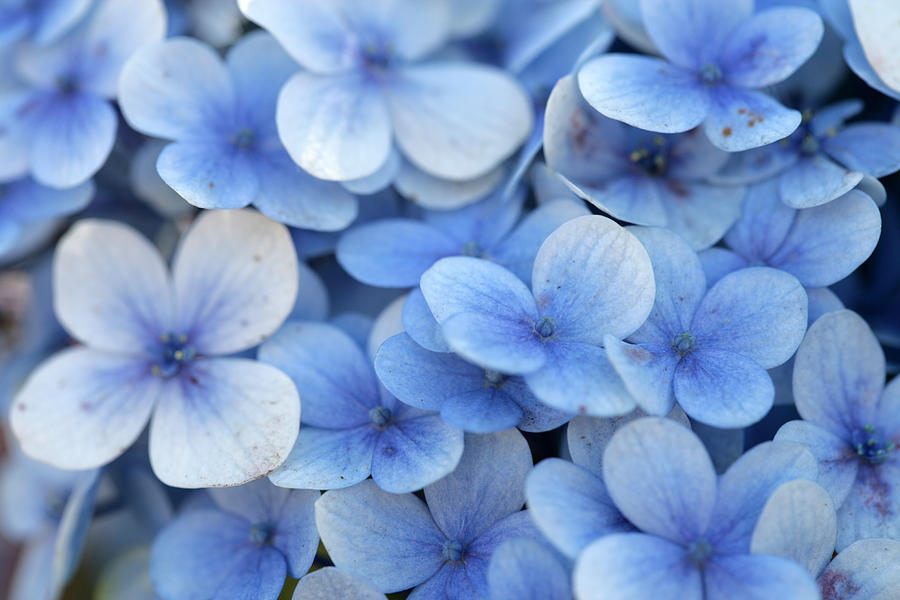 Flowers Photograph - Blue Flowers by Tawann Simmons