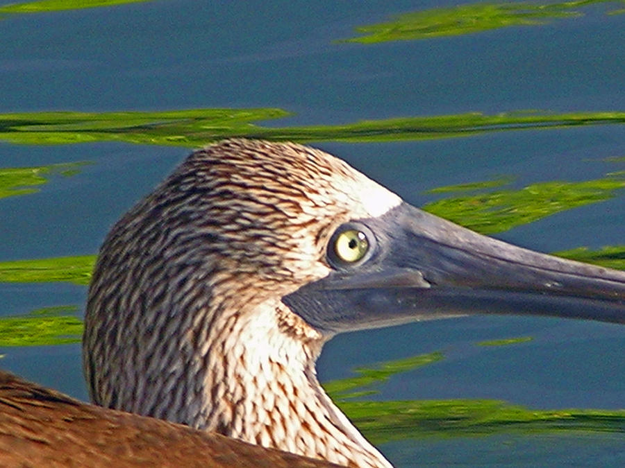 Boobie Photograph - Blue Footed Boobie by Ladonna Idell