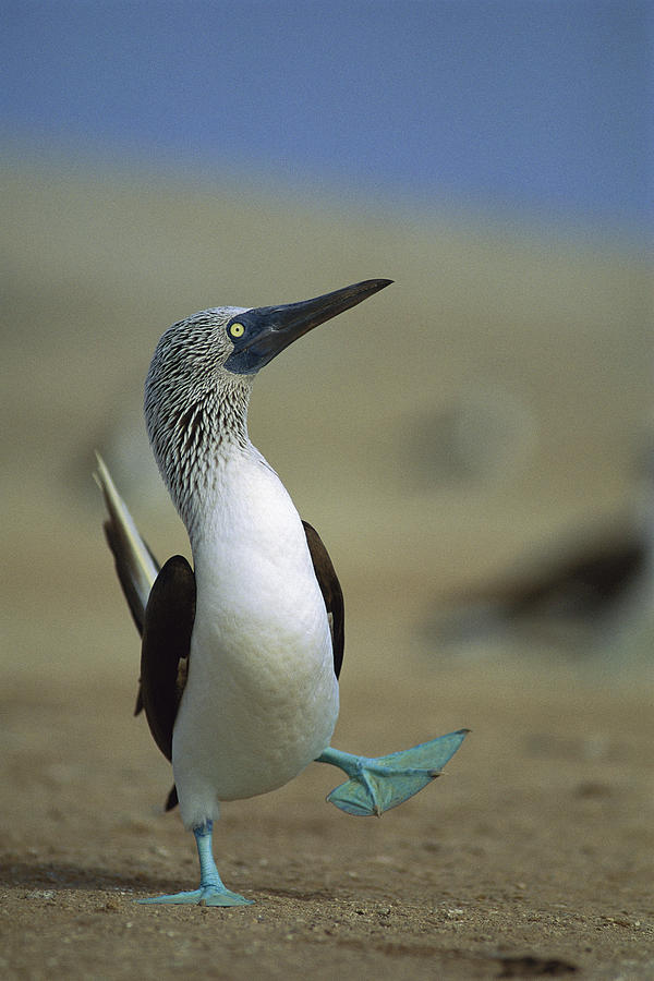 Blue-footed Booby Photograph - Blue-footed Booby Sula Nebouxii by Tui De Roy