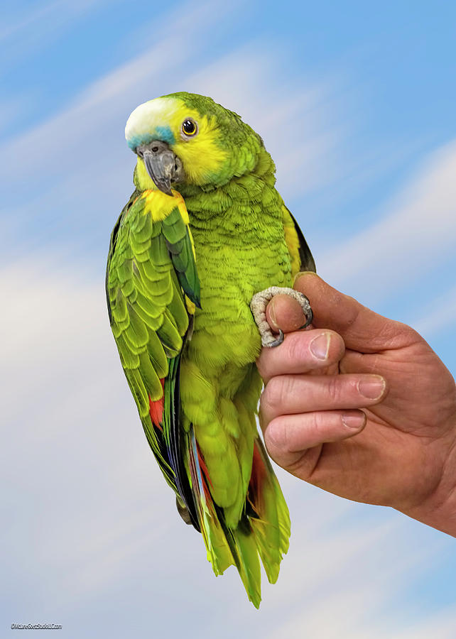 Blue Fronted Amazon Parrot Photograph By Leeann Mclanegoetz