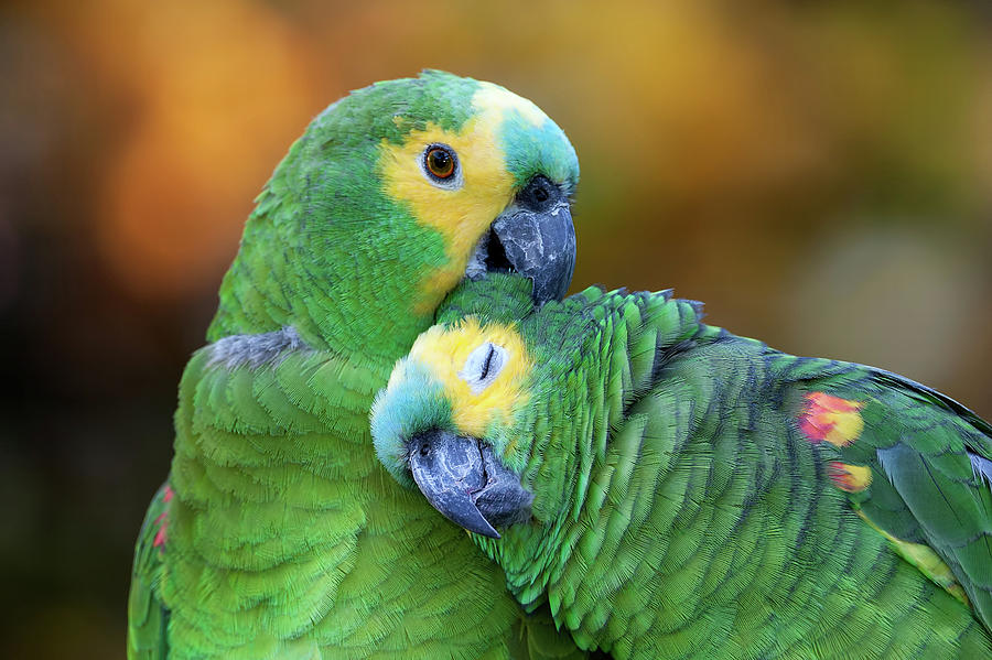 Blue Fronted Amazon Parrot Photograph By Pablo Rodriguez Merkel